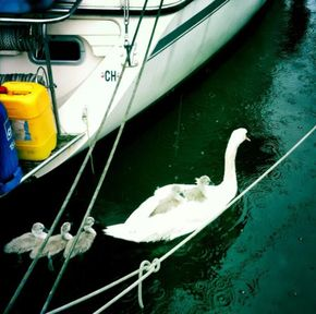 Swans and Cygnets among the boats